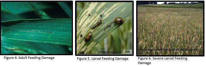 cereal-leaf-beetle3
