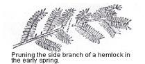 Pruning Hemlock