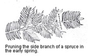 Pruning Spruce