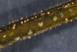 Boxwood Blight Spores