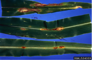 "Figure 1a-b.   Symptoms and signs of C. graminicola on corn.  a) Foliar lesions are often irregular and surrounded by a red or yellow margin.  This results in lesions with a ""flame-like"" appearance.  b) With the aid of a hand lens or microscope fungal structures can be observed.  The most conspicuous feature is the presence of black structures with spines, which are characteristic of C. graminicola.  Photos: a) J.C. Wells North Carolina State University; b) C. Drake Virginia University.  Images obtained from www.Bugwood.org 20-Jan-2014."