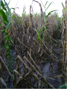 Figure 2.  Decreased stalk strength resulting from the activity of stalk rotting pathogens causes lodging.
