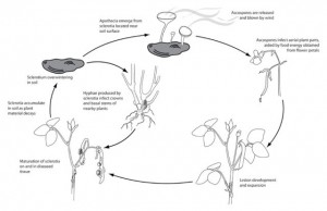 Figure 3.  A typical SSB lifecycle.  Image from APSnet Education Center-Plant Disease Lessons.  Located at: http://www.apsnet.org/edcenter/intropp/lessons/fungi/ascomycetes/Pages/WhiteMold.aspx