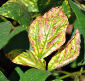 Figure 1. Upper foliage with interveinal necrosis is one symptom of SDS in soybeans.  Photo: R. Mulrooney