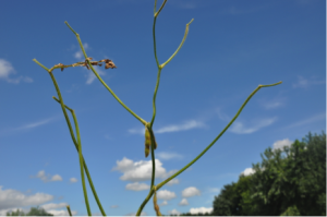 Figure 2.  Defoliation is common in plants suffering from SDS.  However, unlike other diseases such as brown stem rot, the petioles may remain intact.   Photo: R. Mulrooney