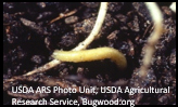rootworms