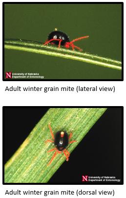 winter-grain-mites
