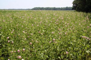 Provisional Seashore Mallow field
