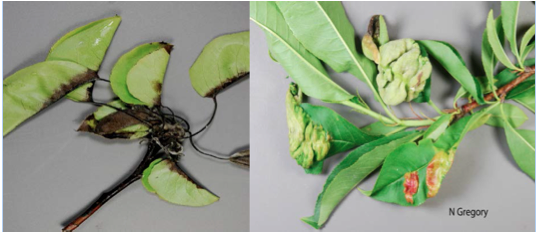 Left: Fire Blight on Pear, Right: Peach Leaf Curl, Images by N. Gregory