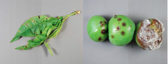 Left: Bacterial Leaf Spot on Peach, Right: Brown Rot Pluot, Images by N. Gregory